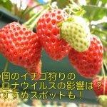 静岡のイチゴ狩りのコロナウイルス影響は?おすすめスポットも!